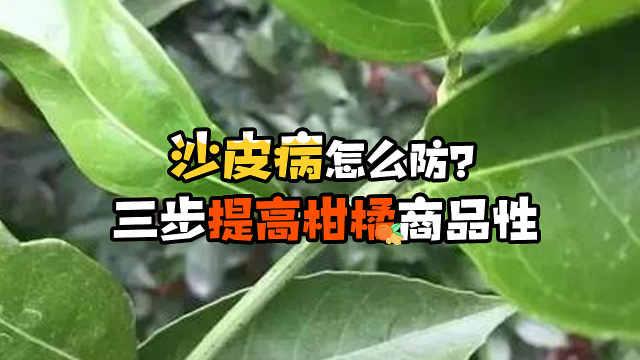 柑橘沙皮病怎么防治提高商品性?