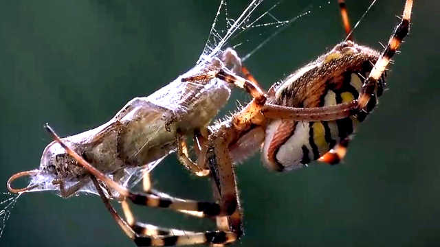 蜘蛛为什么不会被自己的网粘住?