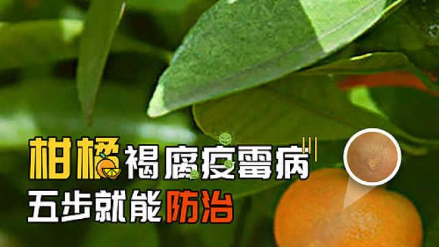 柑橘褐腐疫霉病,五步就能防治!