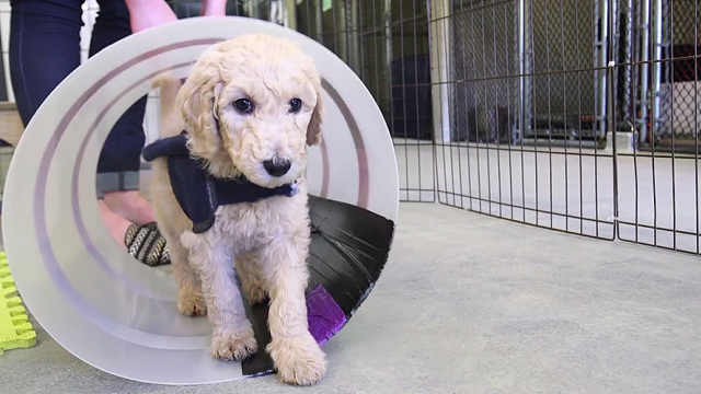 导盲犬养成记:从小就要接受训练
