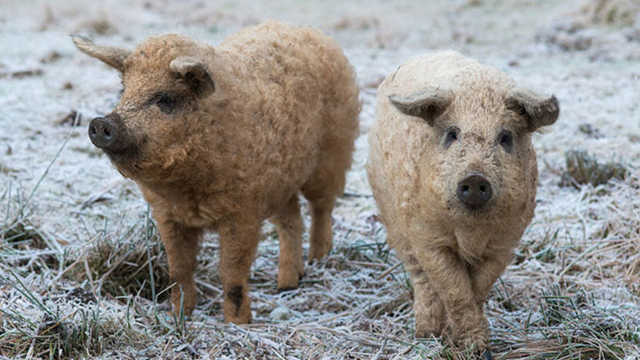 卷毛的猪,你见过吗?