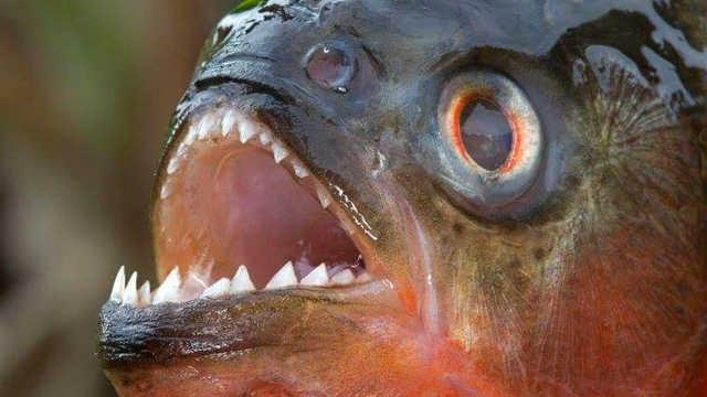 亚马逊河流霸主到底是什么生物?
