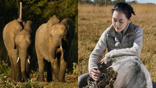 小s探访大象孤儿院,遇残忍盗猎流泪