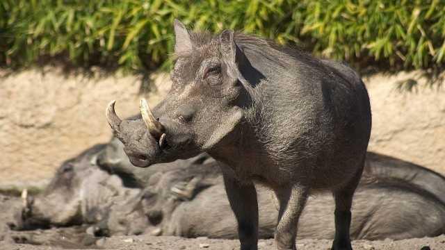 野猪的战斗力到底有多强?