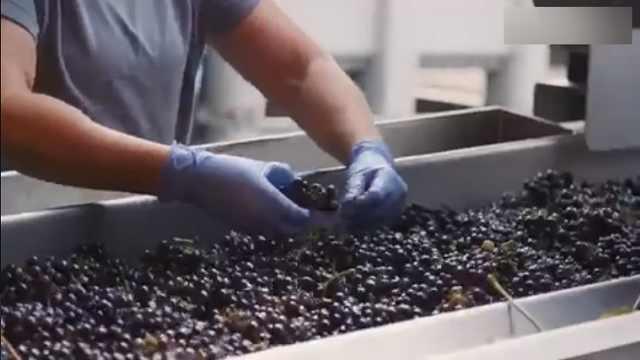 走进英国酒庄:葡萄酒如何做成?