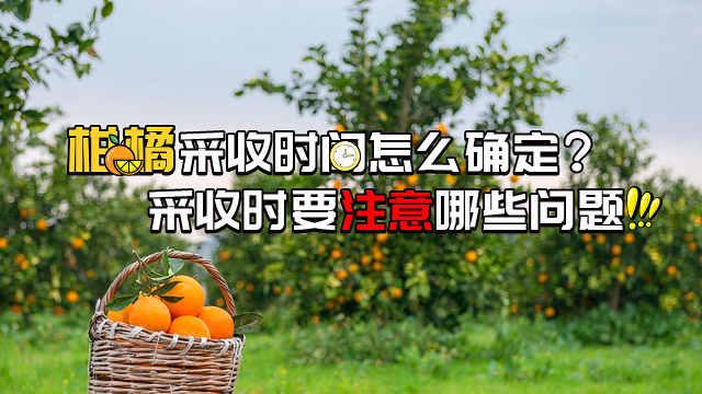 如何恰当掌握柑橘采收时间?