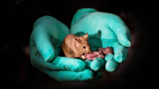 中科院科学家用同性老鼠繁殖出幼鼠