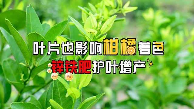 叶片影响柑橘着色合理施肥护叶增产