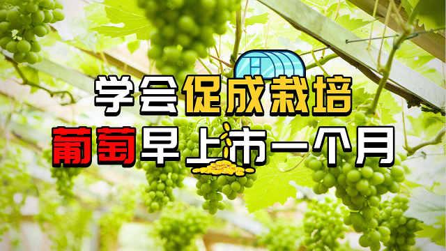掌握促成栽培,葡萄能早上市一个月