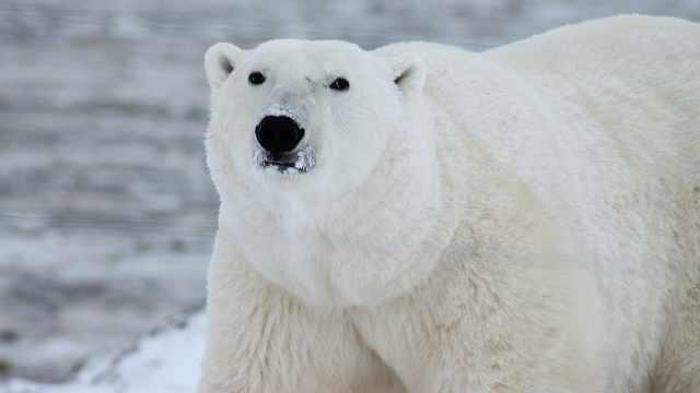 极地动物科普之北极王者北极熊