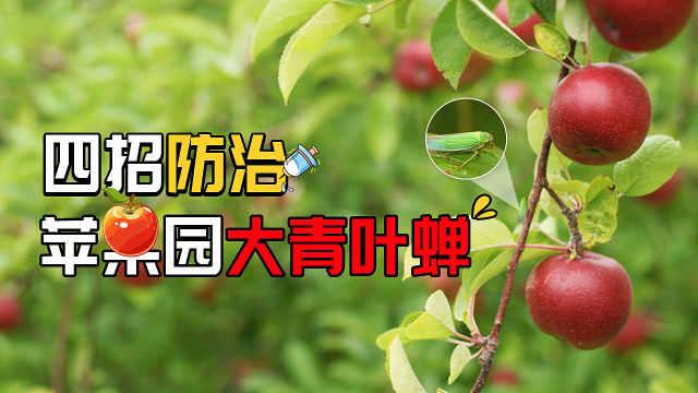 十月苹果园大青叶蝉来袭,四招防治