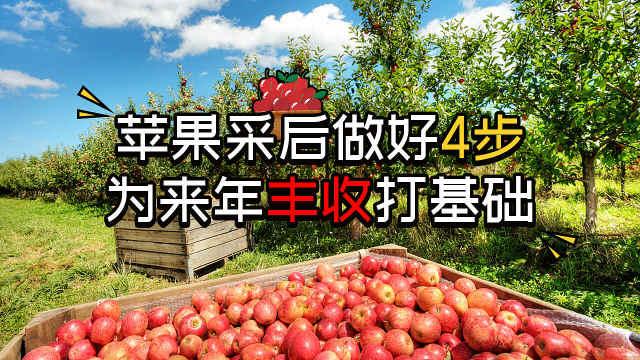 苹果采后做4步,为来年丰收打基础
