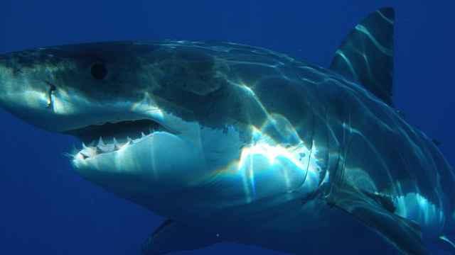 海洋生物科普小百科之大白鲨