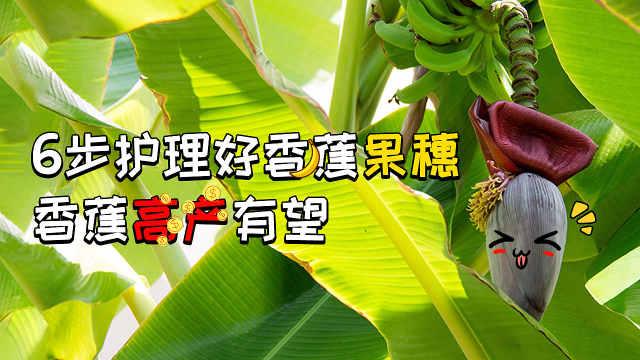 6步护理好香蕉果穗,香蕉高产有望