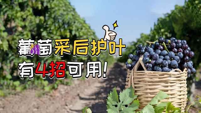 葡萄采后护叶,来年增产增量保丰收