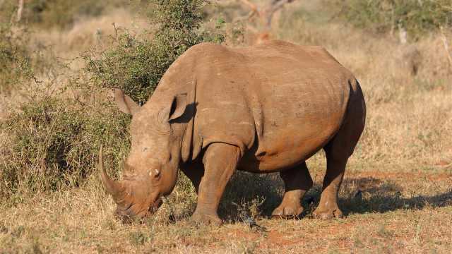 草原生物小百科之犀牛