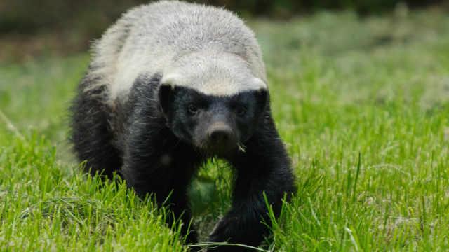 草原动物小百科之蜜獾