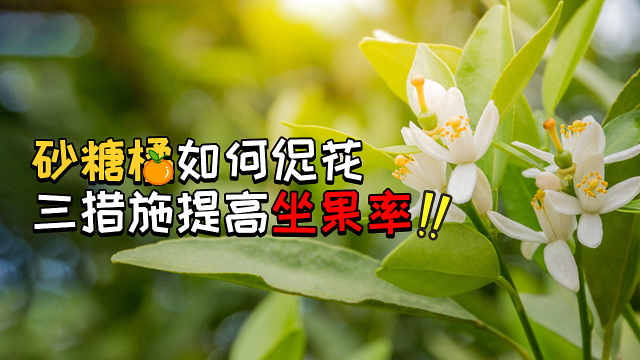 明年投产的砂糖橘这样促花坐果率高