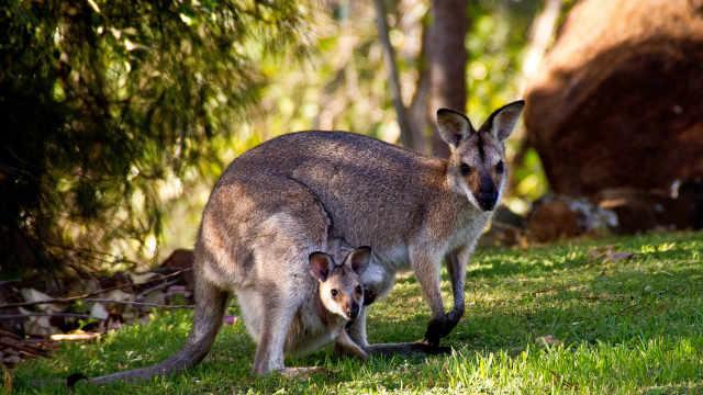 草原动物科普小百科之袋鼠