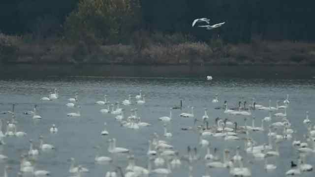 猛犸视频丨白天鹅飞往河南过冬