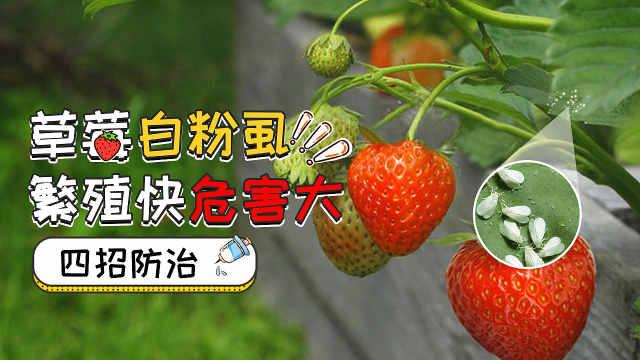 草莓白粉虱繁殖快危害大,四招防治