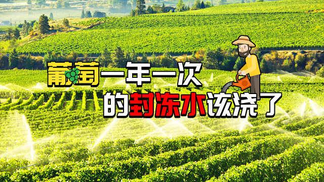 葡萄一年一次的封冻水该浇了!
