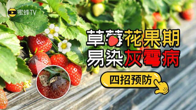 草莓花果期易染灰霉病,四招预防!
