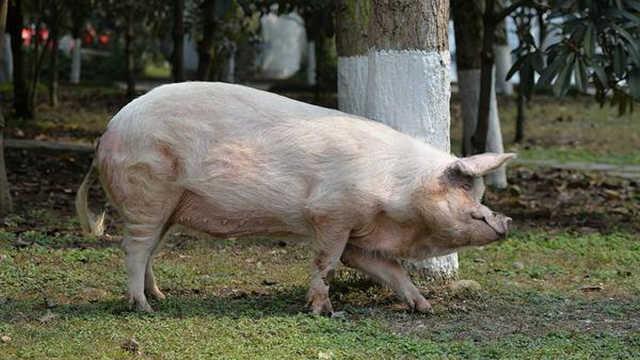 当年地震中的猪坚强现在怎么样了?