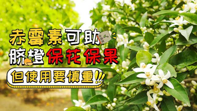 赤霉素可助脐橙保花保果,需慎重用
