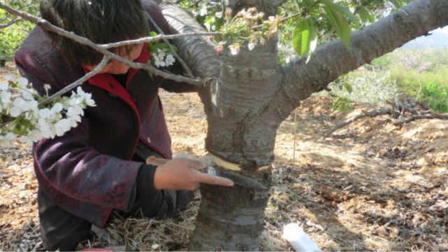 为什么农民给果树砍几刀?