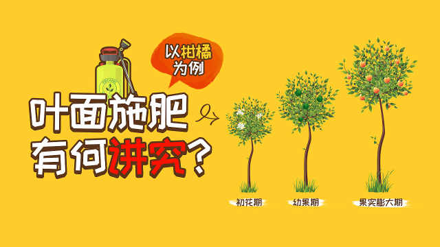 叶面施肥有何讲究?以柑橘为例