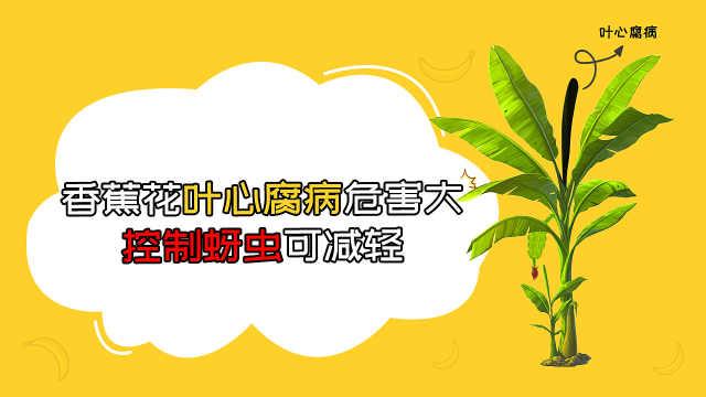 香蕉花叶心腐病防治