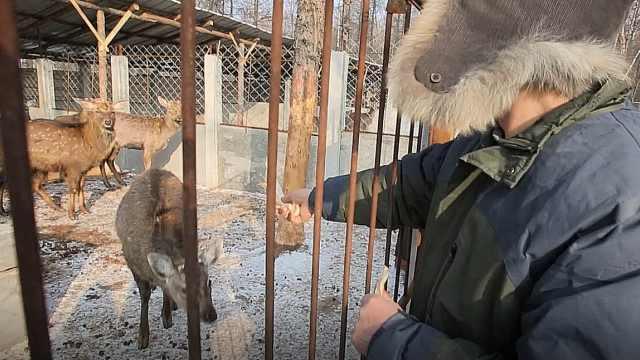 探访这位满族老汉是如何饲养梅花鹿
