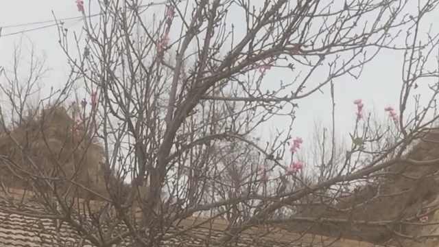梨树寒冬开花,专家:因营养过剩