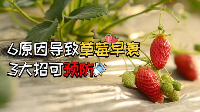 6原因导致草莓早衰,3大招可预防!