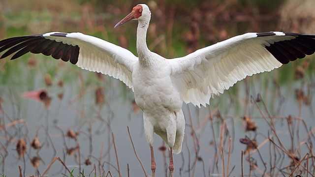 鸟类小百科之白鹤
