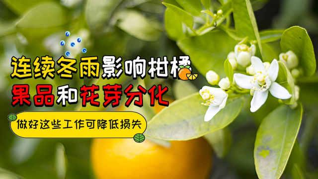 连续冬雨影响柑橘果品和花芽分化
