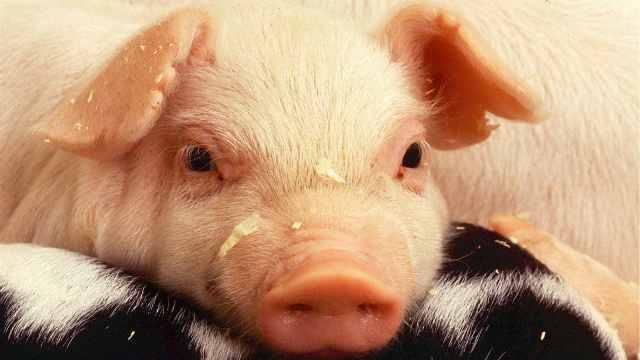 家禽家畜小百科之猪
