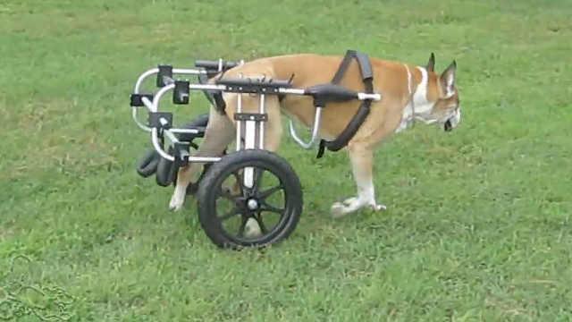 90岁退休兽医为残疾动物打造轮椅