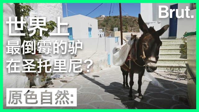 世界上最倒霉的驴在圣托里尼?