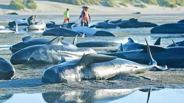 痛心!新西兰145头鲸鱼集体自杀