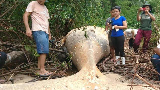 亚马逊丛林中发现幼年座头鲸尸体