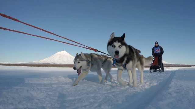 世界上最长的狗拉雪橇赛事来了!