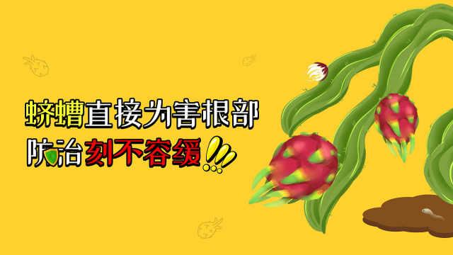 蛴螬为害火龙果根部,防治刻不容缓