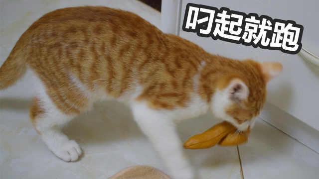 小橘猫叼起便便玩具就往厕所跑