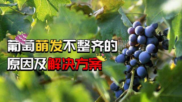 葡萄萌芽不齐,如何改善?
