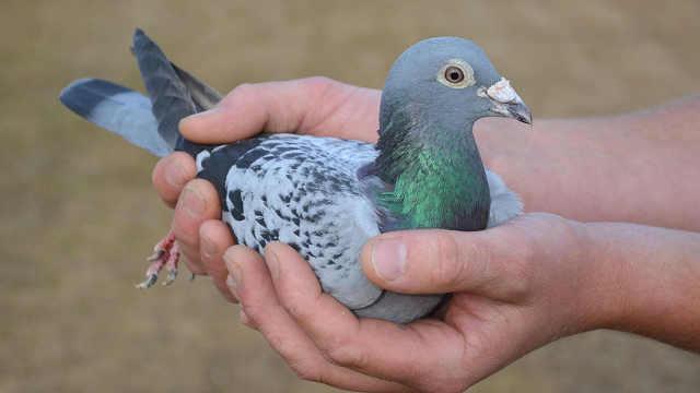 比利时明星赛鸽被神秘中国买家买走