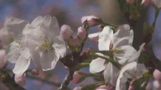 樱花节来啦!警察蜀黍有话说