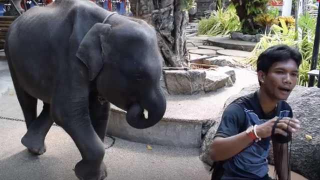 泰国动物园虐待瘦弱小象,被逼演奏