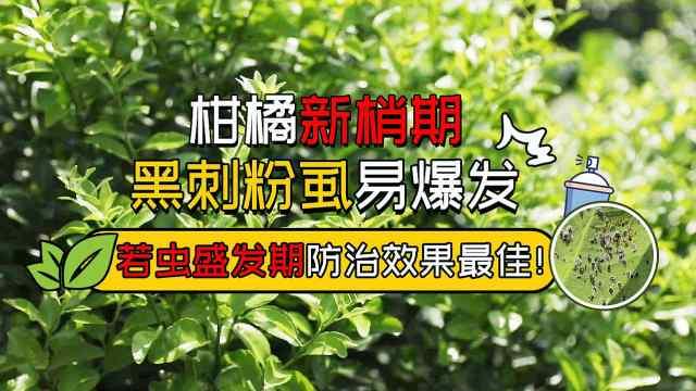 柑橘黑刺粉虱如何有效防治?